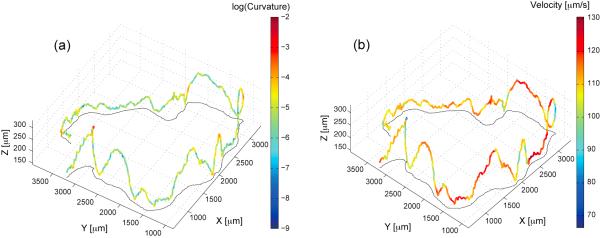 Three dimensional trajectory of freely swimming Chlamydomonas.