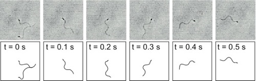 Cropped image sequence of a swimming sperm.